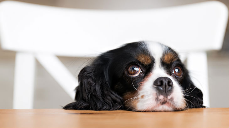 Coprophagia Why Do Dogs Eat Poop Legal And General