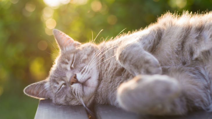 insurance - pet - resources - images - 730x410 - IMG RESP - cat lying down 730x410