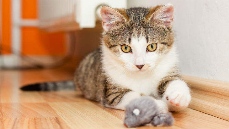 insurance - pet - resources - images - 730x410 - IMG RESP - cat playing with toy mouse 730x410