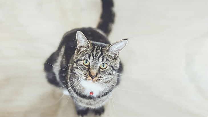 insurance - pet - resources - images - 730x410 - IMG RESP - cat looking up 2 730x410