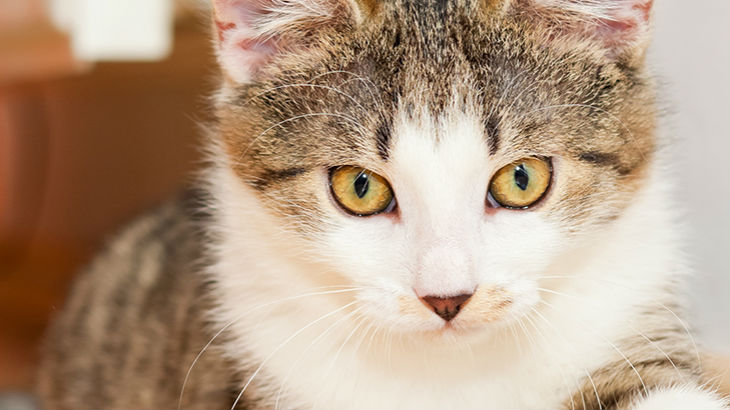 insurance - pet - resources - images - 730x410 - IMG RESP - cat close up 730x410