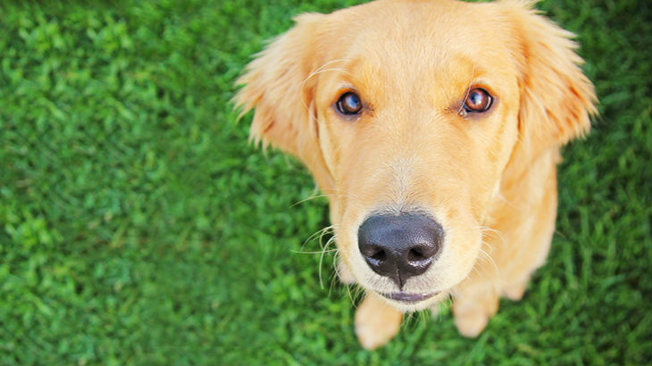 insurance - pet - resources - images - 730x410 - IMG RESP - golden dog 730x410