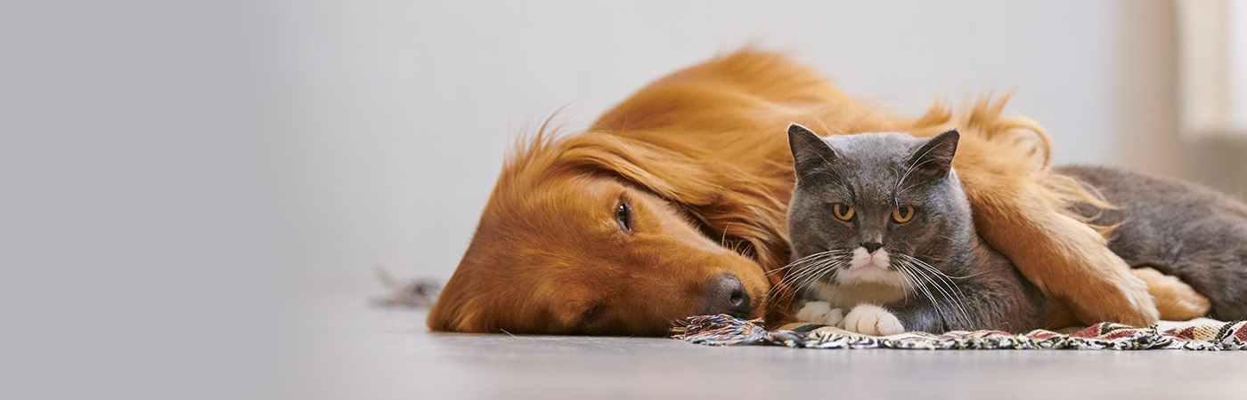 insurance - pet - resources - images - labrador lying sideways next to grey cat 1400 x 450 image
